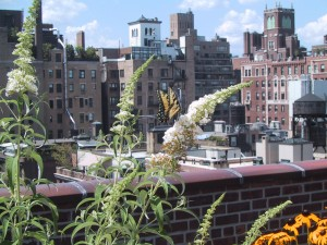 A butterfly in a garden designed to attract them on a rooftop in Manhattan