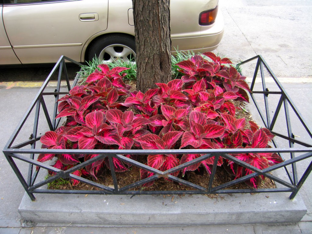 A trees are planted in tree pits to protect them from dogs and cars.