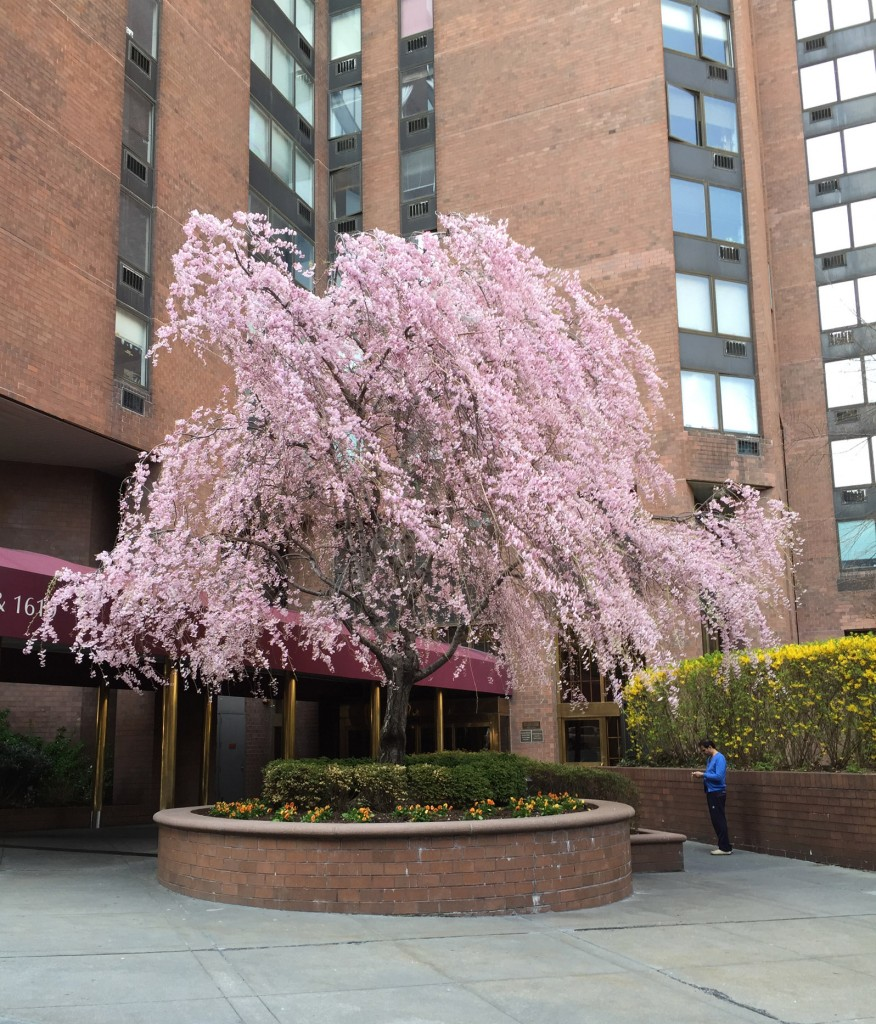 A weaping cherry tree in bloom in New York City