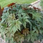 Gyphonn Begonia
